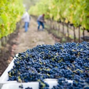 Adopter un pied de vigne